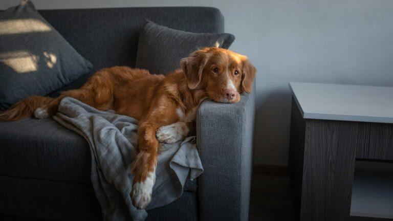 Почему моя собака всегда занимает мое место на диване?